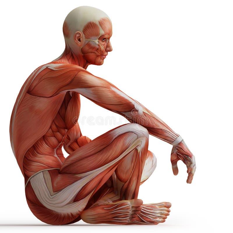 anatomimuskler vektor illustrationer