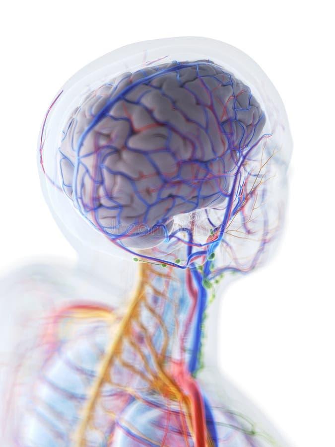 Anatomin av den mänskliga hjärnan royaltyfri illustrationer