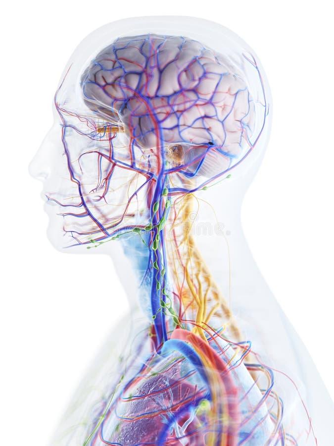 Anatomin av huvudet och halsen royaltyfri illustrationer