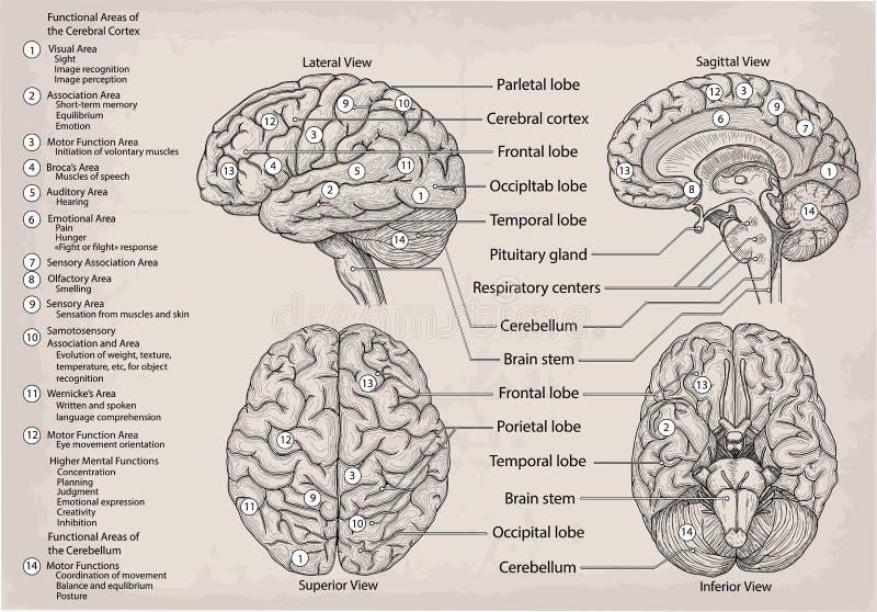 Anatomisch diagram van menselijke Hersenen Geneeskunde, Vectorillustratie stock illustratie
