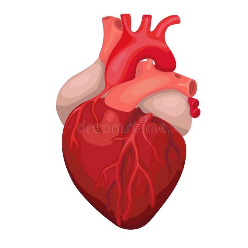 Anatomisch Ge?soleerd Hart Teken van het hart het kenmerkende centrum Het menselijke ontwerp van het hartbeeldverhaal Vector beel royalty-vrije illustratie
