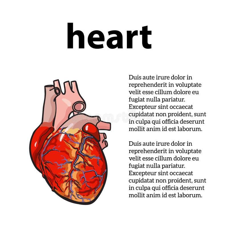 Anatomisch menselijk hart stock illustratie