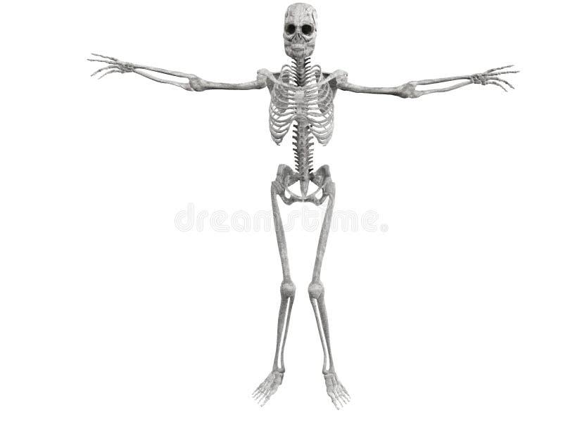 Anatomisch menselijk skelet stock foto's