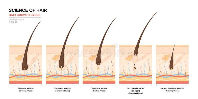 Anatomische opleidingsaffiche De fase van de haargroei stap voor stap Stadia van de cyclus van de haargroei Anagen, telogen, cata vector illustratie