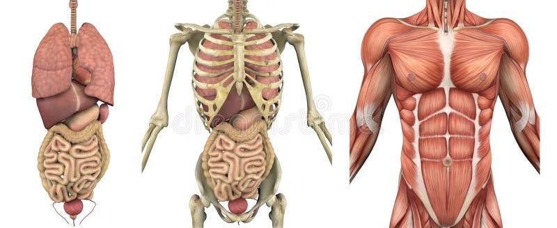 Anatomische Testblätter - männlicher Torso mit Organen vektor abbildung