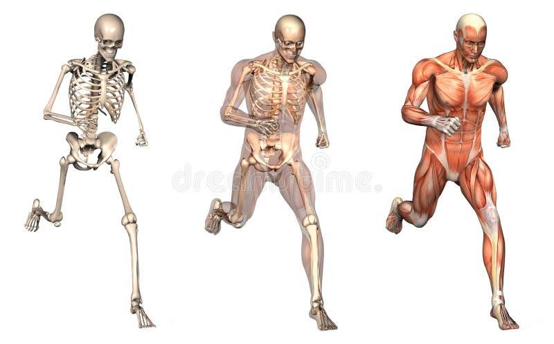 Anatomische Testblätter - Mann-Betrieb - Vorderansicht vektor abbildung