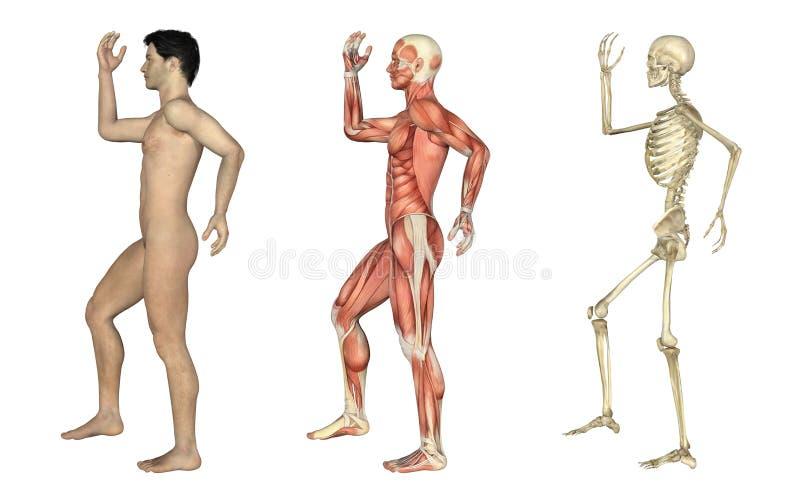 Anatomische Testblätter - Mann mit dem Arm und Fahrwerkbein verbogen stock abbildung