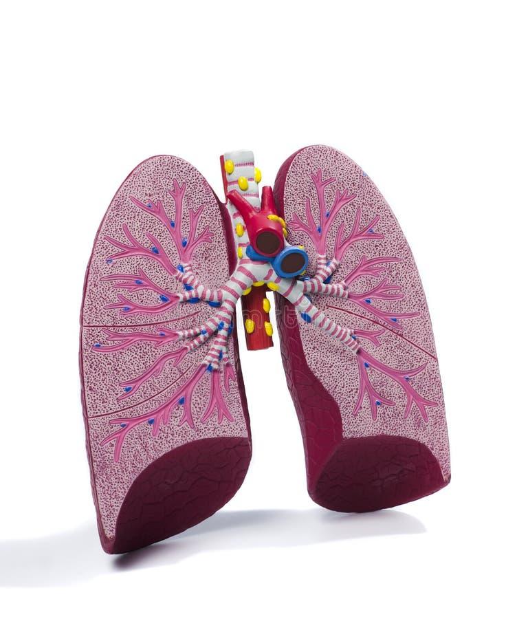 Anatomisches Baumuster eines Lungenflügels stockfoto