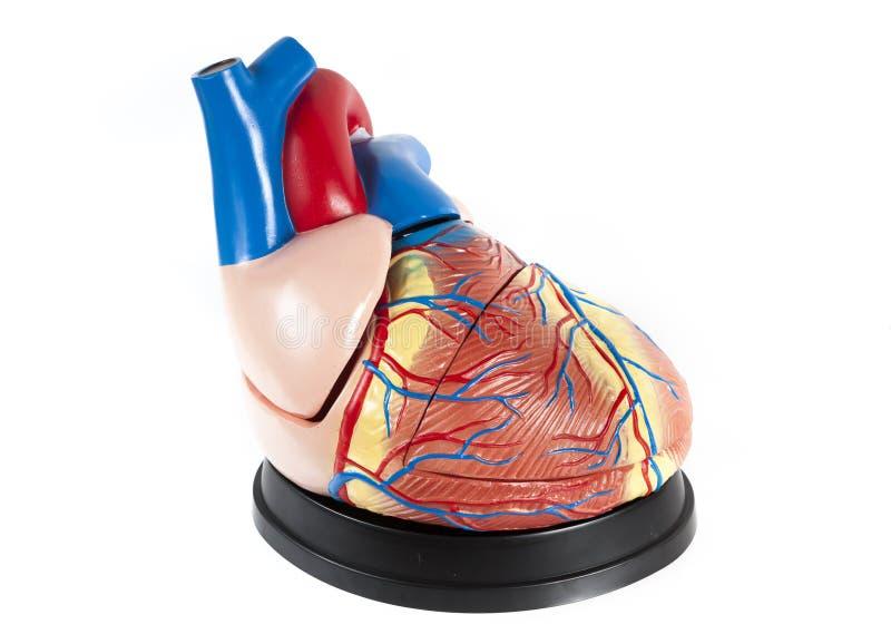 Anatomisches Modell der menschlichen Herznahaufnahme lokalisiert auf weißem Hintergrund stockbild