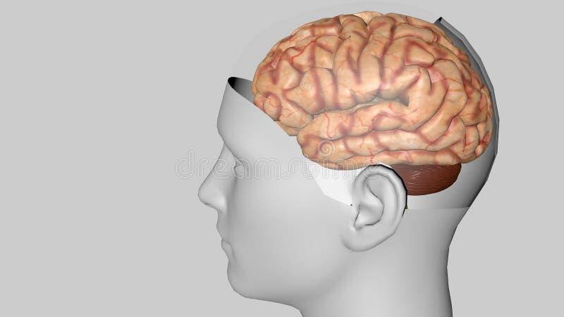 Anatomisk modell 3D av den mänskliga hjärnan för medicinare vektor illustrationer