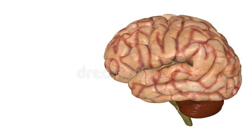 Anatomisk modell 3D av den mänskliga hjärnan för medicinare royaltyfri illustrationer