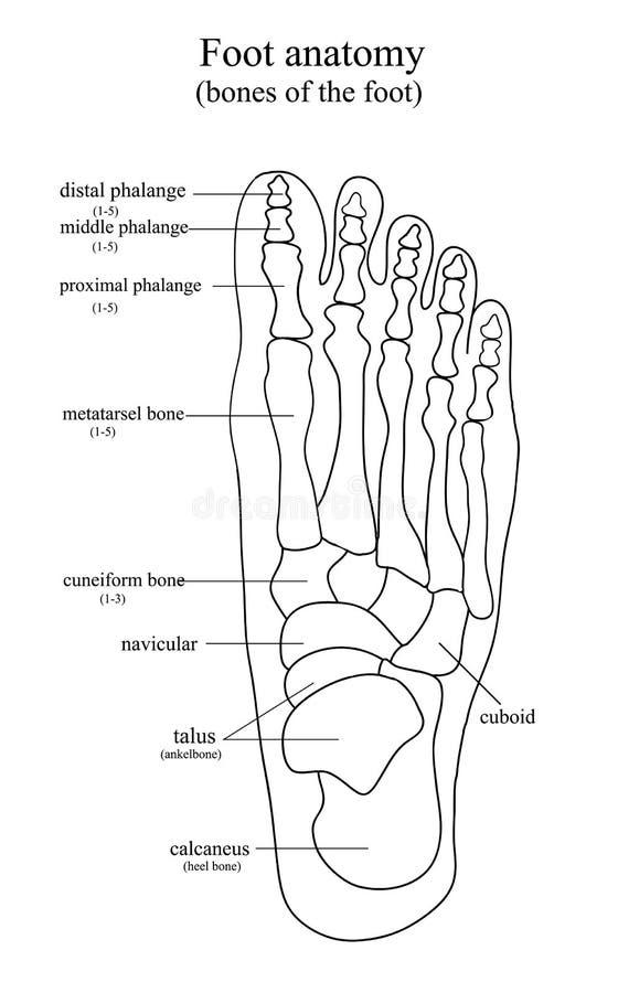 Anatomisk teckning av foten vektor illustrationer