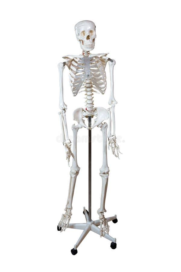 Anatomiskt modellmänniskaskelett royaltyfri foto
