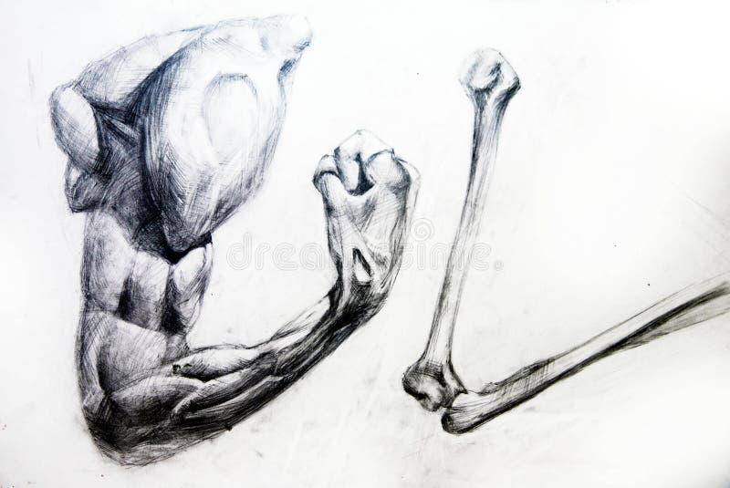 anatomiteckningen tränga sig in studioarbeten vektor illustrationer