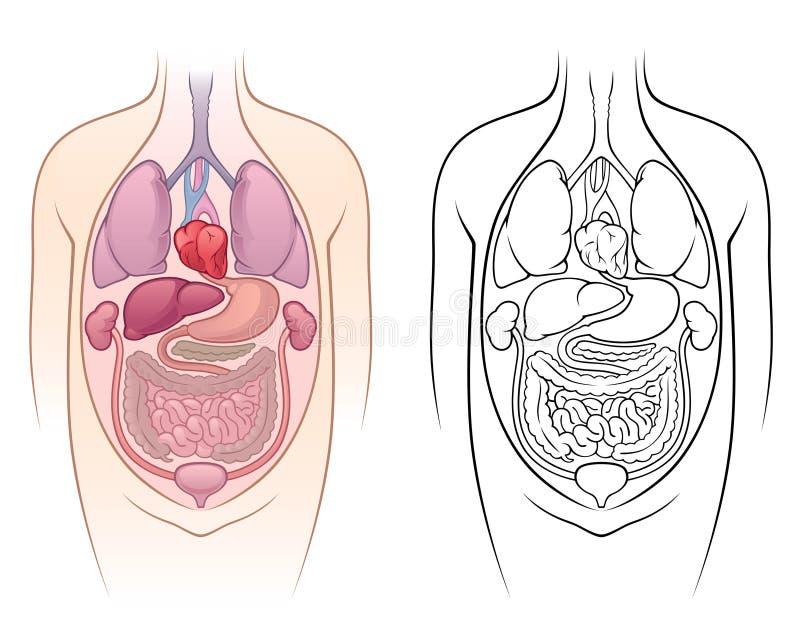 Download Anatomy stock vector. Illustration of health, internal - 14427118