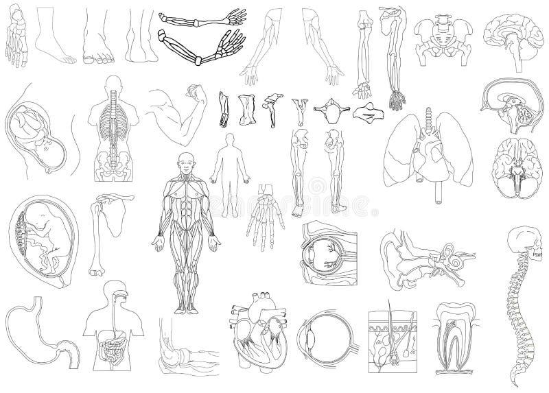 Anatomy royalty free stock photos