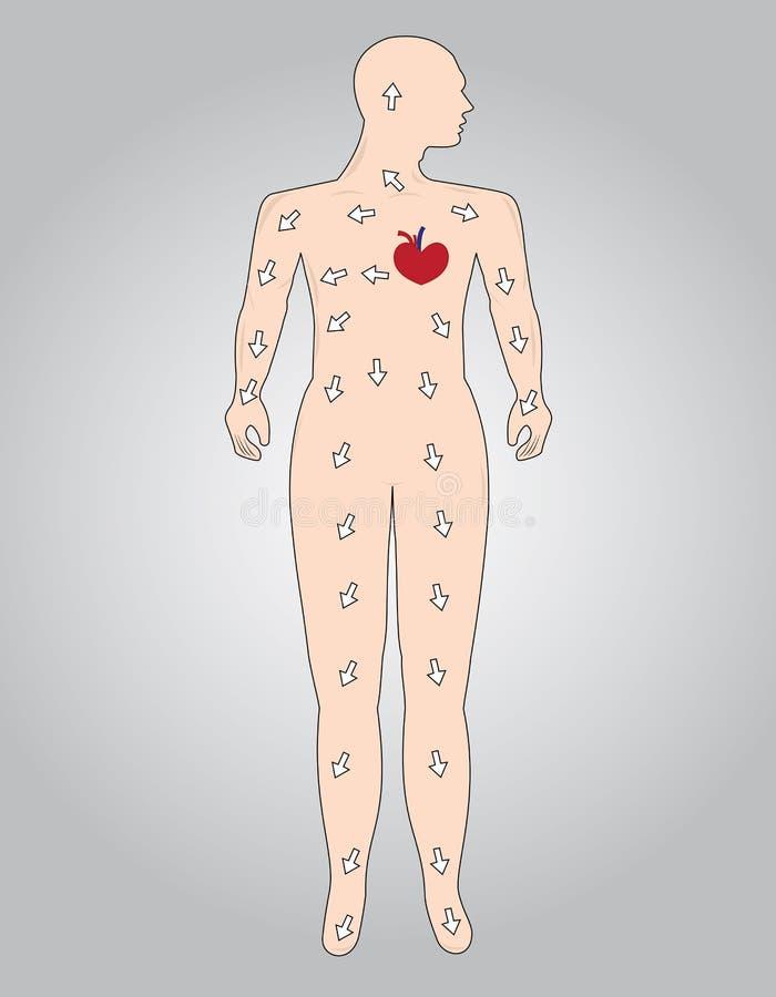 anatomy ilustração do vetor