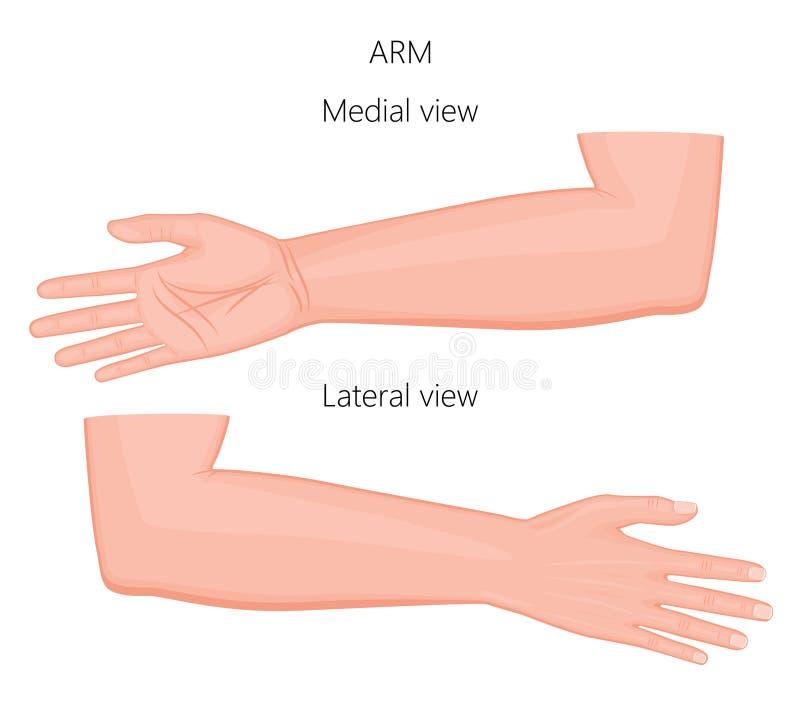 Anatomy_Arm vektor illustrationer
