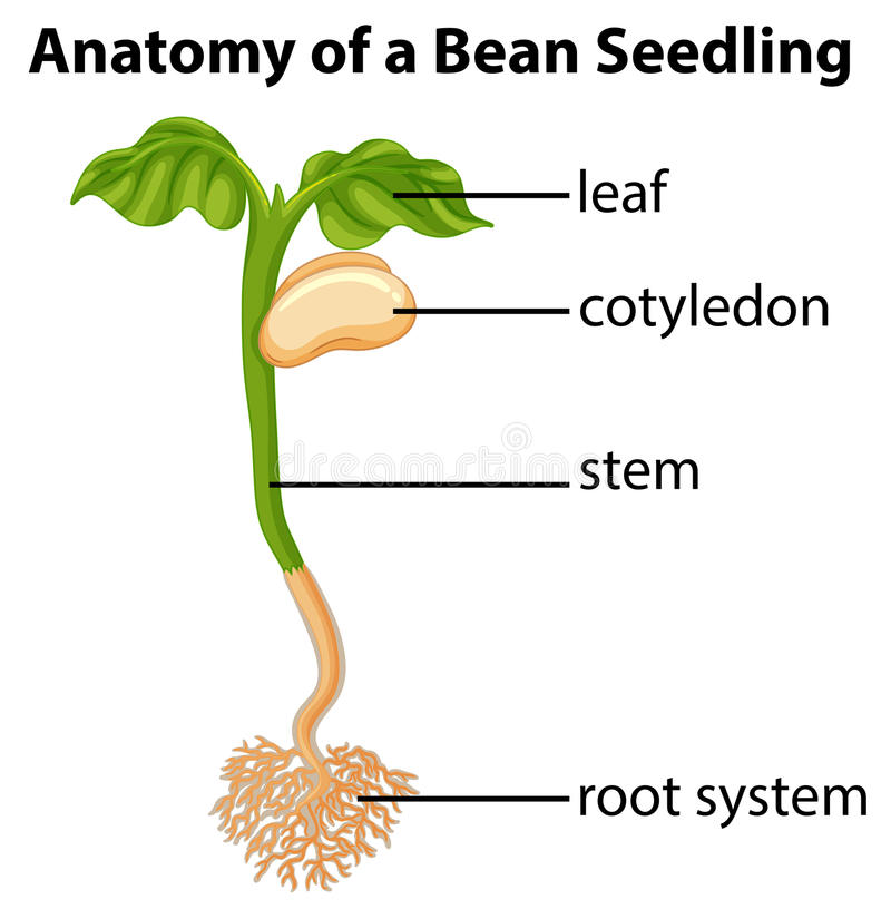 Anatomy Of Bean Seedling On Chart Stock Vector - Illustration of ...