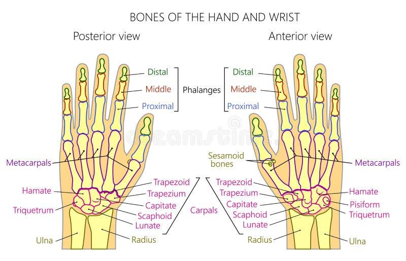 Anatomy_bones av den mänskliga handen vektor illustrationer