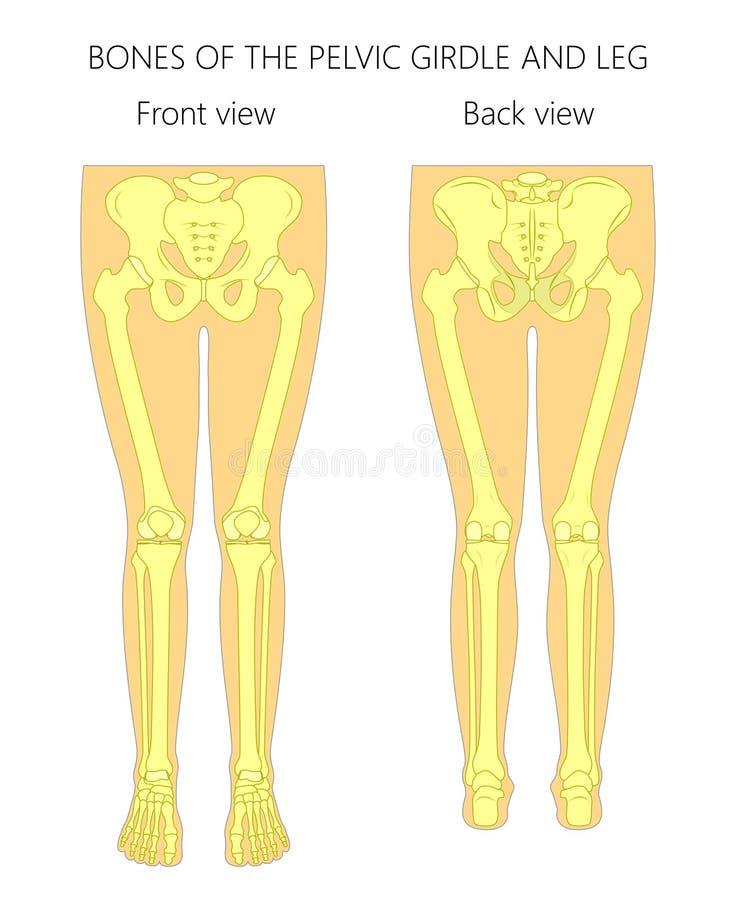 Anatomy_Bones du gridle et de la jambe pelviens illustration stock