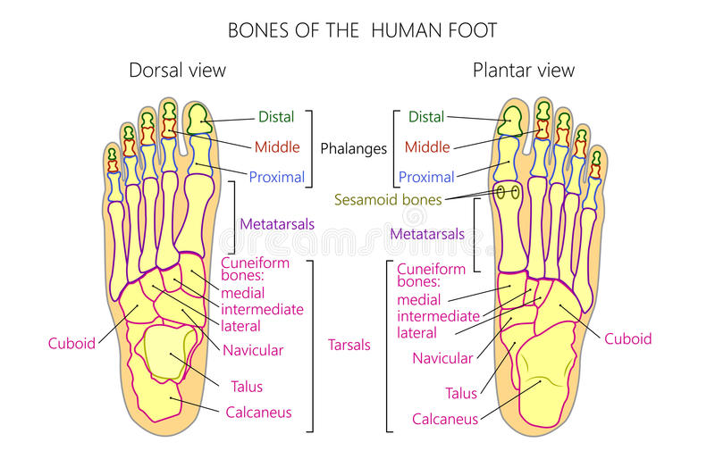 Anatomy_bones Of The Human Foot Dorsal And Plantar View Stock Vector ...