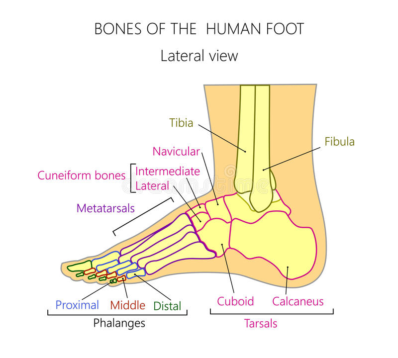 Anatomybones Of The Human Foot Lateral View Stock Vector