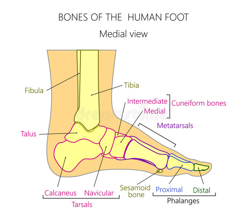 Anatomy_bones Of The Human Foot Medial View Stock Vector ...