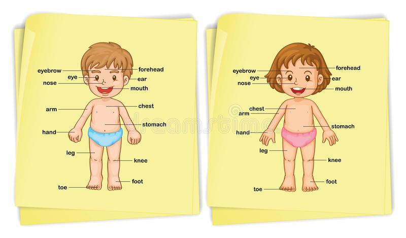 Anatomy of boy and girl royalty free illustration