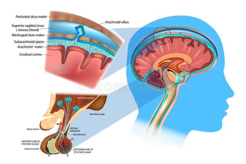 Anatomy of the Brain: Meninges, Hypothalamus and Anterior Pituitary. Diagram of section of top of brain showing the meninges and subarachnoid space royalty free illustration