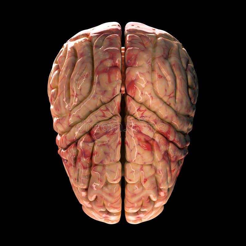 Anatomy Brain Top View Stock Illustration Illustration Of Head