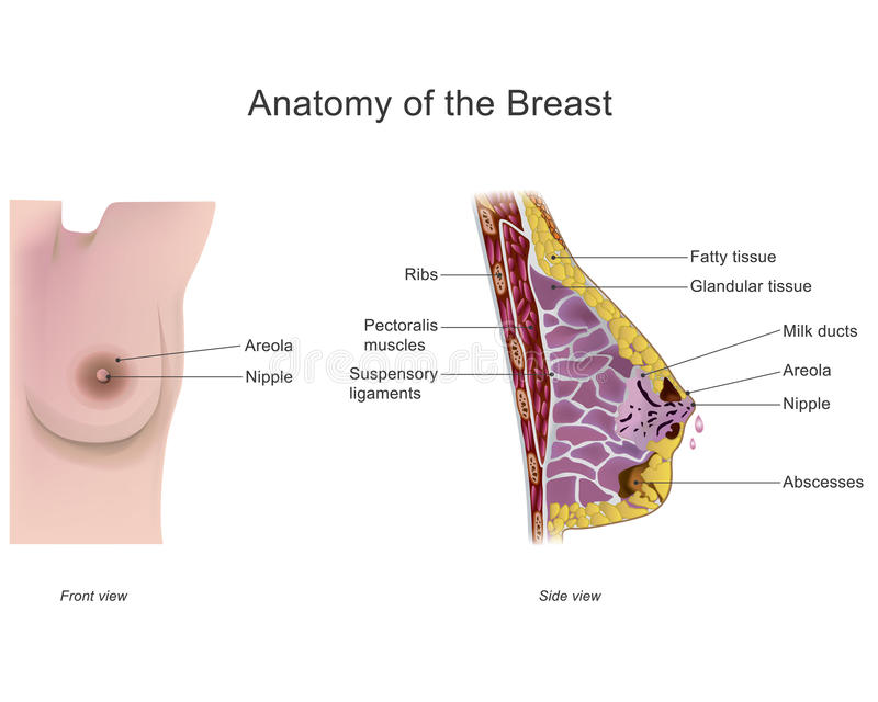 Anatomy of the breast stock vector. Illustration of cancer - 83366237