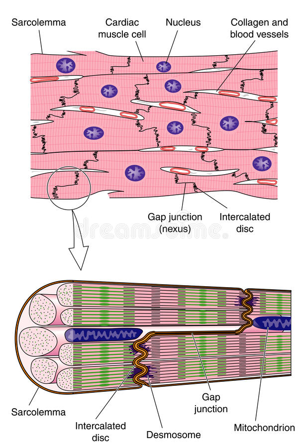 Anatomy of cardiac muscle stock vector. Illustration of science ...