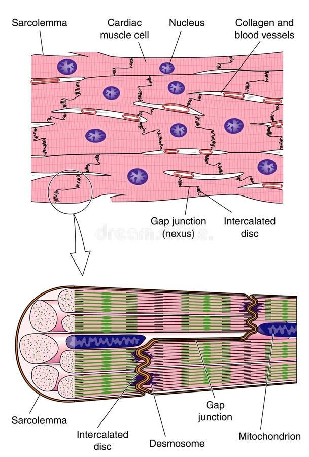 Anatomy of cardiac muscle stock illustration