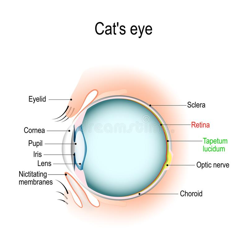 Anatomy of the cat`s or dog`s eye. Vertical section of the eye and eyelids. Third eyelid and Tapetum lucidum. Schematic diagram. detailed illustration stock illustration
