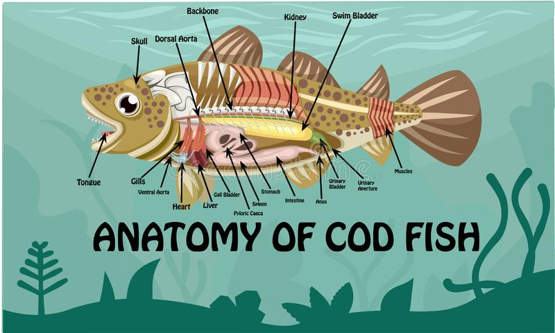 Anatomy of cod fish Vector cartoon Design Illustration. Animal Anatomy Of Cod fish Cartoon Design Vector Illustration On Green Water royalty free illustration