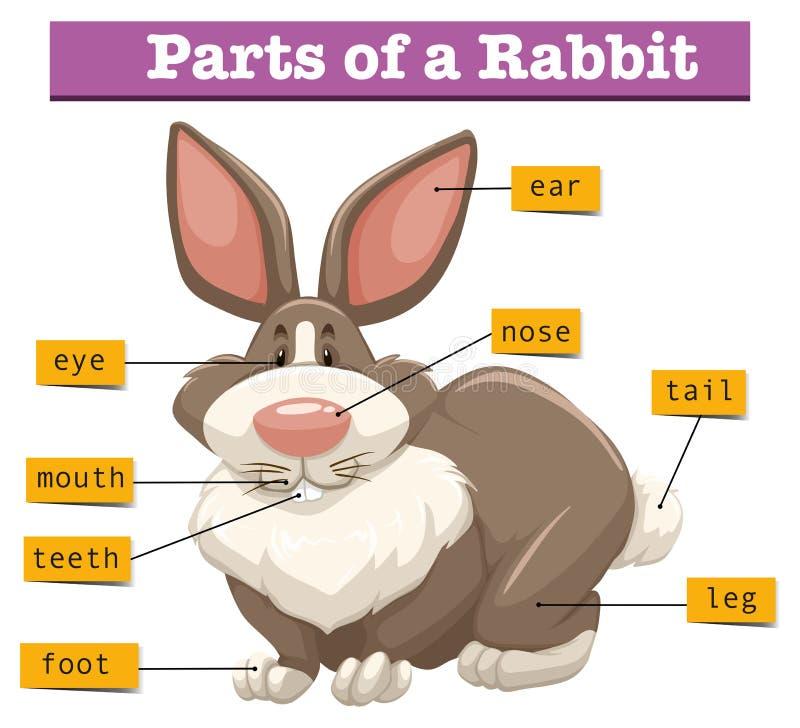 Anatomy of cute rabbit stock vector. Illustration of creature - 74986042