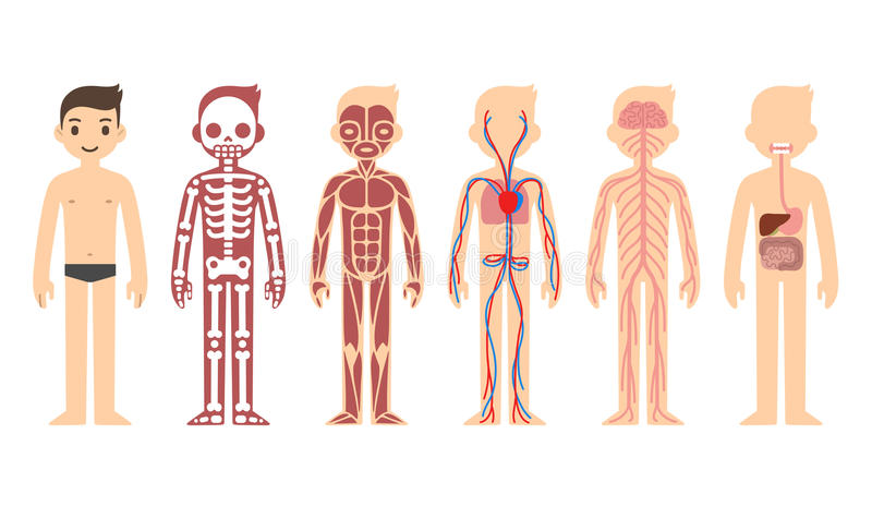 Anatomy diagram royalty free illustration