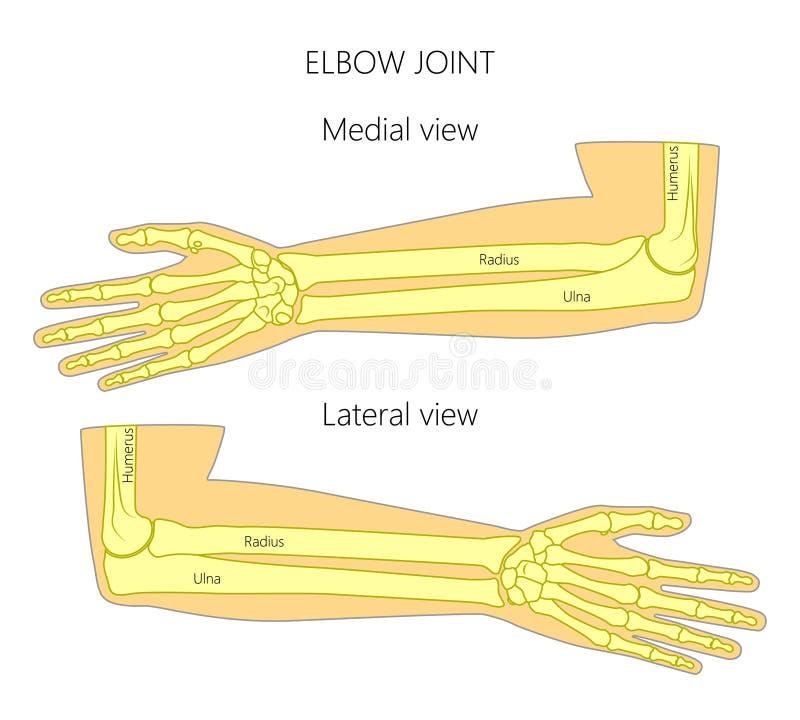 Anatomy_Elbow vektor illustrationer