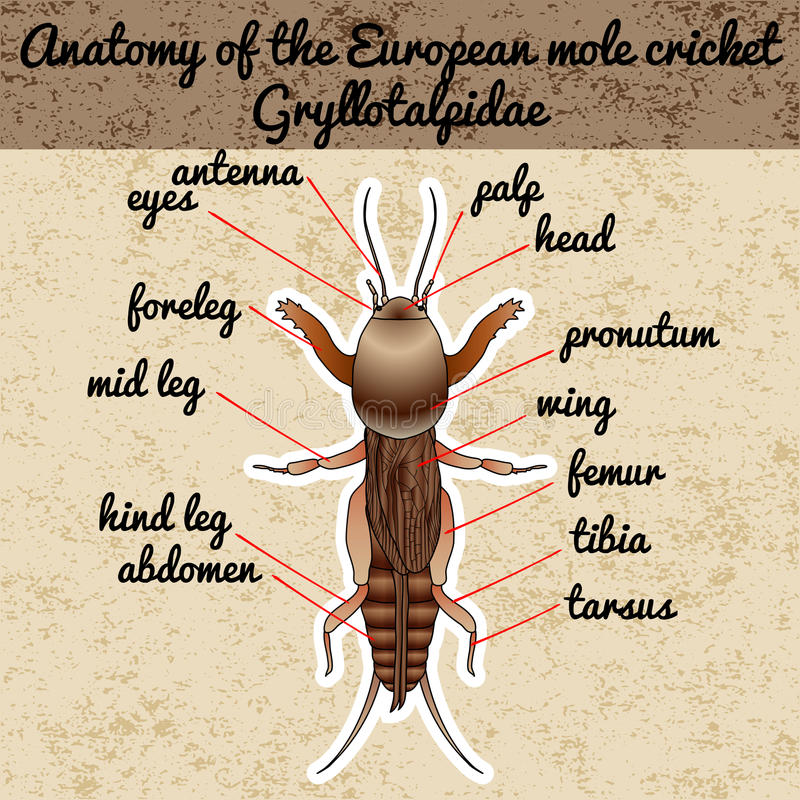 Anatomy Of The European Mole Cricket. Sticker. Gryllotalpidae ...