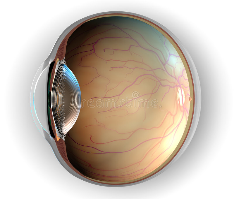 Anatomy of Eye. Sagittal section of left eyeball showing the major anatomical parts vector illustration