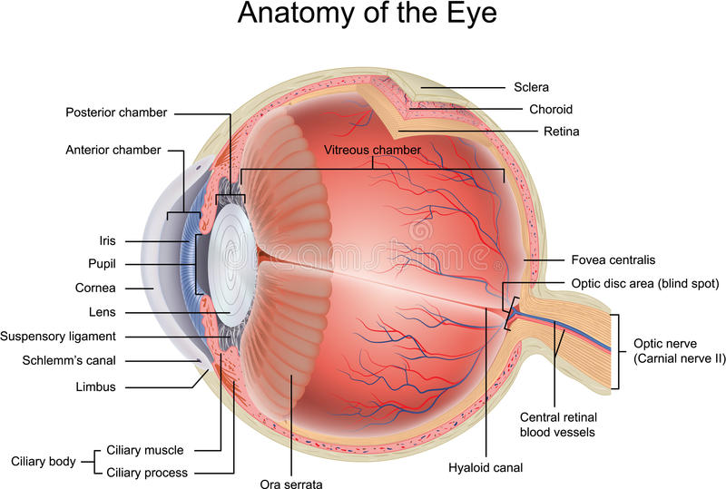 Anatomy of the Eye. In cross section view
