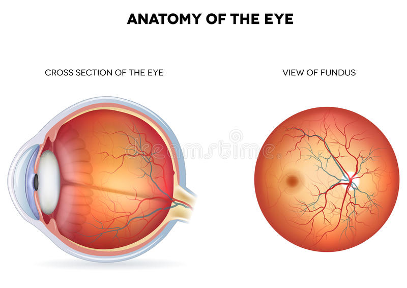 Anatomy of the eye, cross section and view of fund. Us. Detailed illustration stock illustration