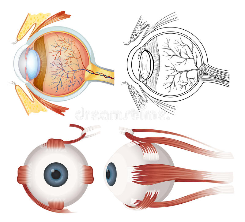 Anatomy of the eye. Anatomy of the human eye on a white background stock illustration