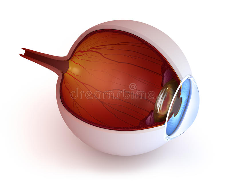 Anatomy of eye - inner structure stock illustration