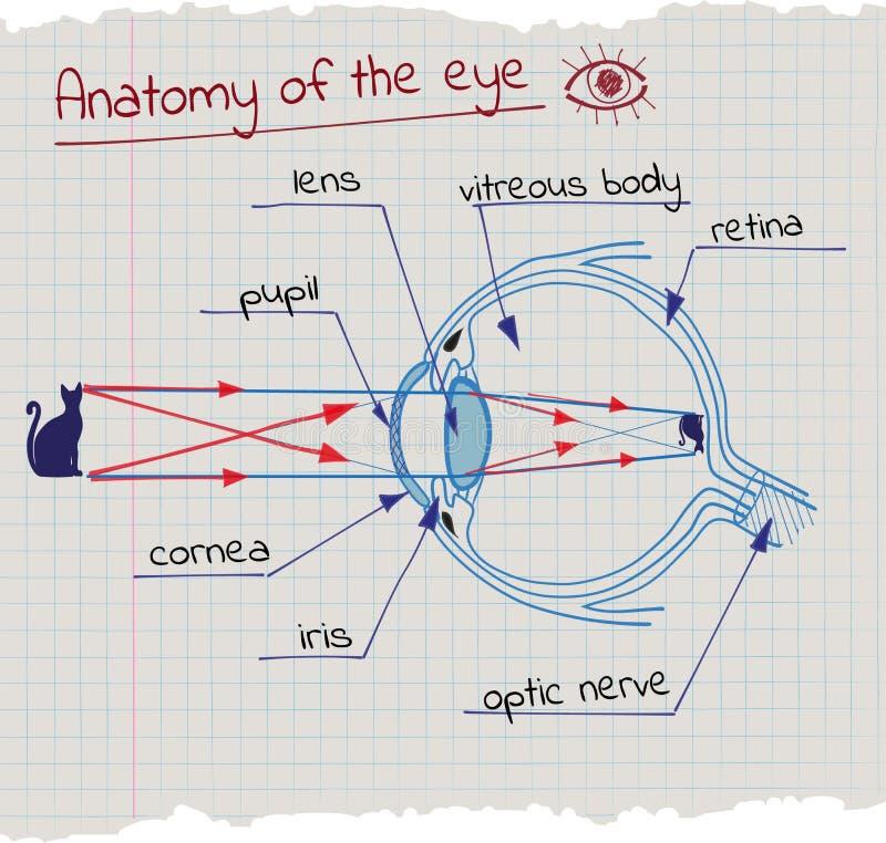 Anatomy of the Eye. Vector drawing anatomy of the eye stock illustration