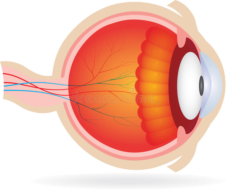 Anatomy of eye. Vector illustration of anatomy of eye. Isolated on white vector illustration