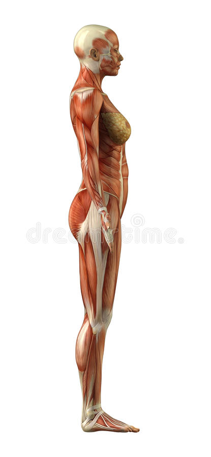Anatomy of female muscular system vector illustration