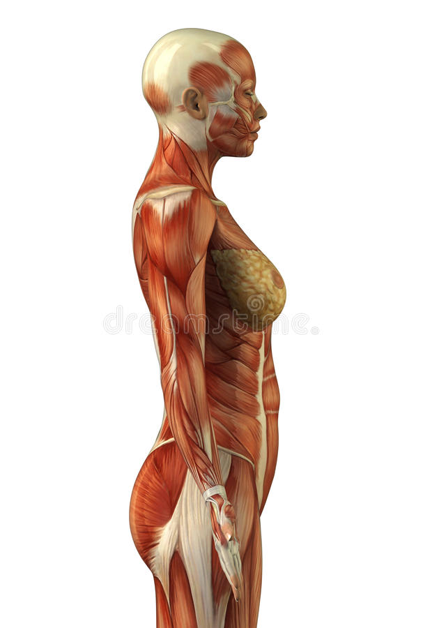 anatomy of female muscular system stock images - image: 19835694, Muscles