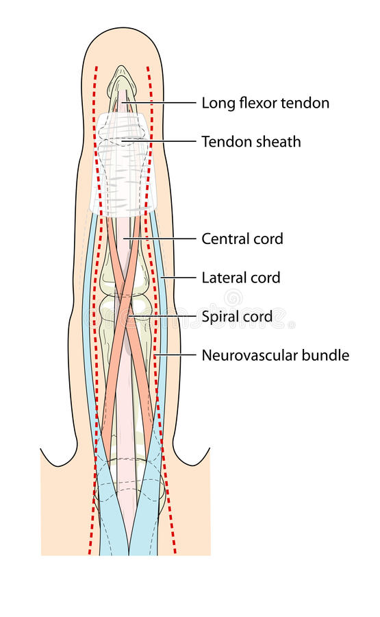 Anatomy of the finger stock vector. Illustration of tendon - 13398829
